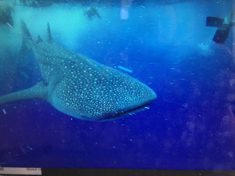whale shark tour mexico